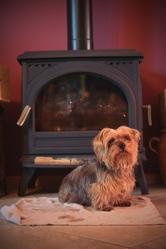 Pépé, chien Yorkshire Terrier