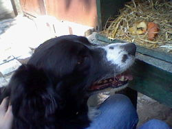 Peper, chien Border Collie