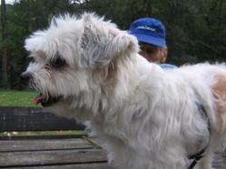 Pépéte, chien Bichon à poil frisé