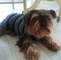 Pepette, chien Yorkshire Terrier