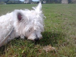 Clochette, chien West Highland White Terrier
