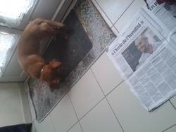 Pepette, chien Teckel