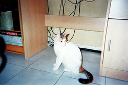 Pépette, chat Européen