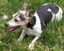 Pépette, chien Jack Russell Terrier