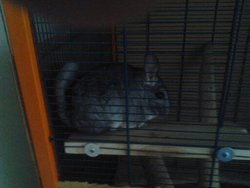 Pepette, rongeur Chinchilla