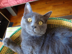 Chiva , chat Chartreux