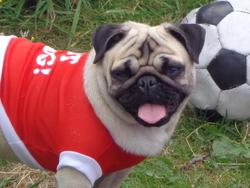 Pépette, chien Carlin