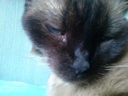 Pepette , chat Thaï
