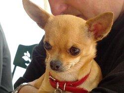 Pépètte Fergy, chien Chihuahua