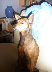 Pepita, chien Pinscher