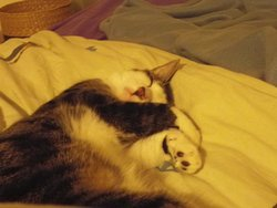 Pepita, chat Européen