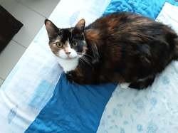 Pépita, chat Européen
