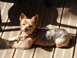 Pepita, chien Yorkshire Terrier