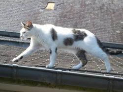 Pépita, chat Gouttière