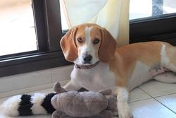 Pepita, chien Beagle