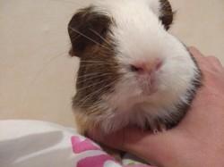 Pépite, rongeur Cochon d'Inde