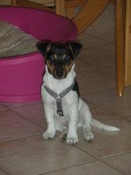 Pépite, chien Jack Russell Terrier