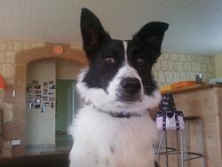Pépite, chien Border Collie