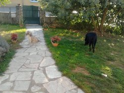 Pepite, chien Labrador Retriever