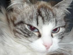 Pépite, chat Européen