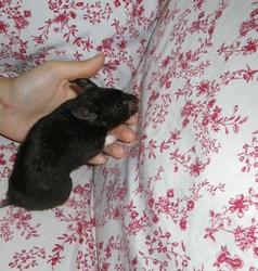 Pépite, rongeur Hamster