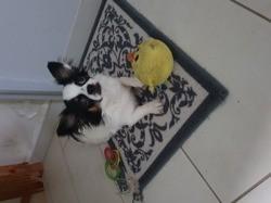 Pepite, chiot Chihuahua