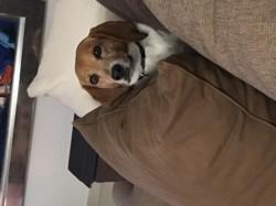 Pepite, chien Beagle