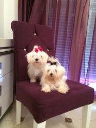 Pépite Et Leidi, chien Bichon maltais
