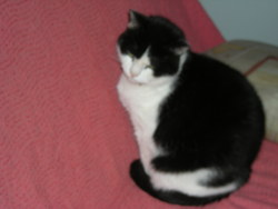 Pepito, chat Européen