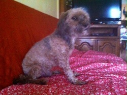 Pepito , chien Lhassa Apso