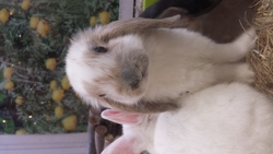 Pepito, rongeur Lapin