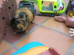 Pépito, rongeur Cochon d'Inde