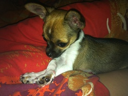 Pépito, chien Chihuahua