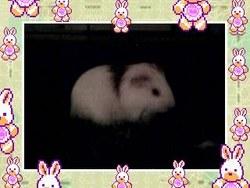Pepito, rongeur Cochon d'Inde