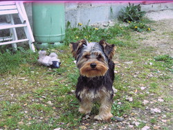 Pepito, chien Yorkshire Terrier