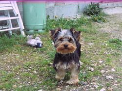 Pepito, chien Yorkshire Terrier