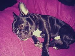 Pépito, chien Bouledogue français