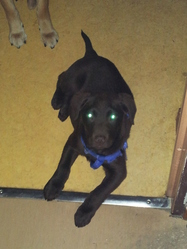 Pépito, chien Labrador Retriever
