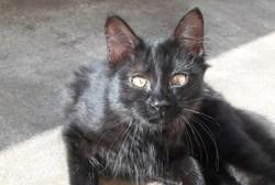 Pépito, chat Angora turc