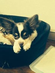 Pepito, chien Chihuahua
