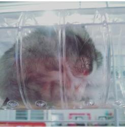 Pépitte, rongeur Hamster