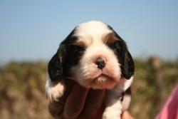 Pepper, chien Cavalier King Charles Spaniel