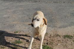 Pepper, chien Labrador Retriever