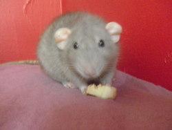 Pepper, rongeur Rat