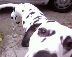 Pepper, chien Dalmatien