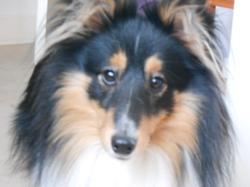 Pepper, chien Berger des Shetland