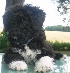 Pepper, chien Chien d'eau portugais