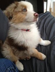 Peps, chien Berger australien