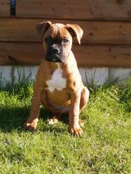 Peps, chien Boxer
