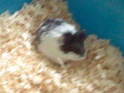 Pepsi, rongeur Hamster